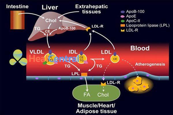 Quá trình chuyển đổi từ VLDL sang LDL