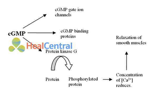 Các vai trò của cGMP trong cơ thể