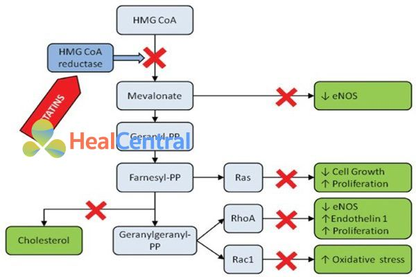 Ảnh hưởng của sự ức chế HMG-CoA reductase lên các con đường khác nhau