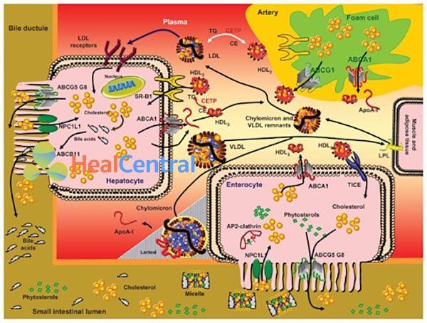Chuyển hóa lipid và lipoprotein