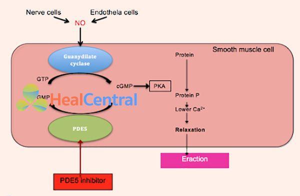 Cơ chế tác dụng của các thuốc ức chế PDE-5 trên sự cương dương