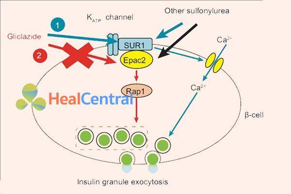 Cơ chế tác dụng của Gliclazide