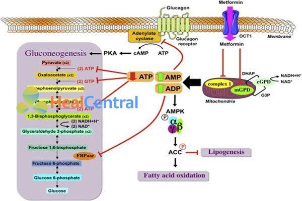 Cơ chế tác dụng của Metformin