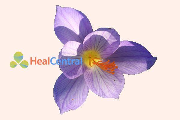 Hoa của loài Colchicum autumnale