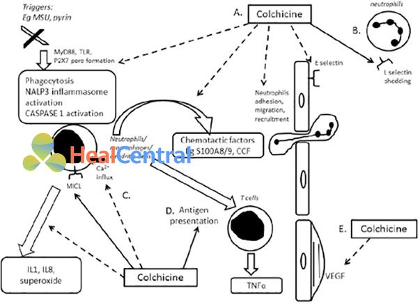 Tóm tắt tác dụng của colchicine trên với đại thực bào