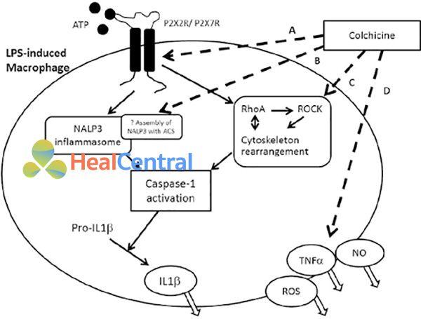 Tóm tắt cơ chế chống viêm của colchicine