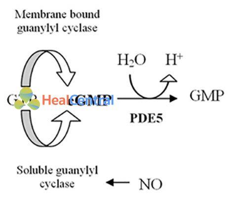 Vai trò của PDE-5