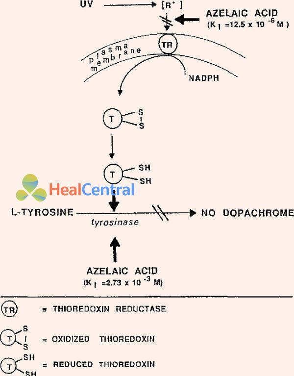 Cơ chế tác dụng của Azelaic Acid lên TB biểu bì người