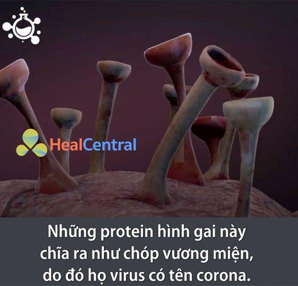 Những Protein hình gai này chĩa ra như chóp vương miện, do đó họ virus có tên Corona