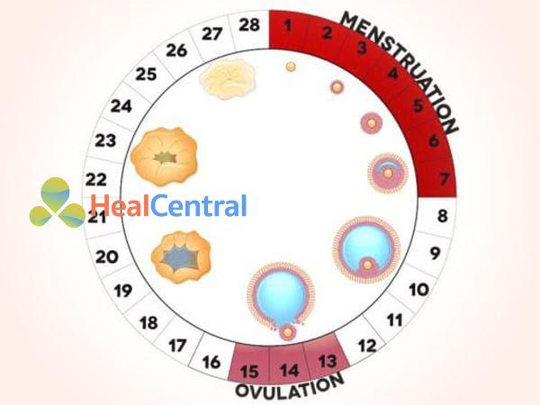 Quá trình hình thành và phát triển nang trứng cho đến khi trứng rụng