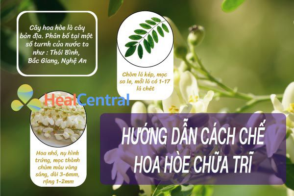 Cách chế hoa hòe chữa trĩ