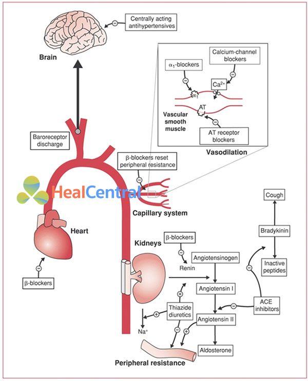 Ảnh: Cơ chế sinh lý chính của các thuốc điều trị tăng huyết áp. ACE: men chuyển angiotensin, AT: thụ thể của angiotensin II.