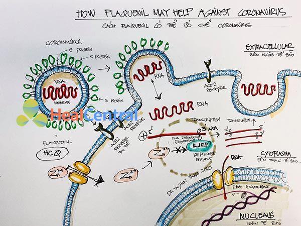 Cơ chế tiêu diệt Virus Corona của Hydroxychloroquine