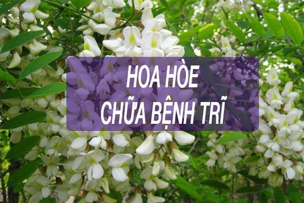 Hoa hòe chữa bệnh trĩ