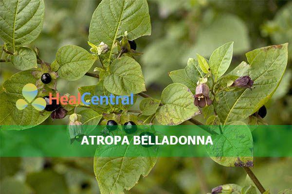 Hoạt chất Scopolamine có nguồn gốc từ loài cây thuộc họ Cà