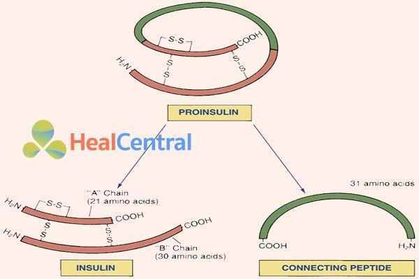 Proinsulin tách ra thành Insulin và C-Peptide