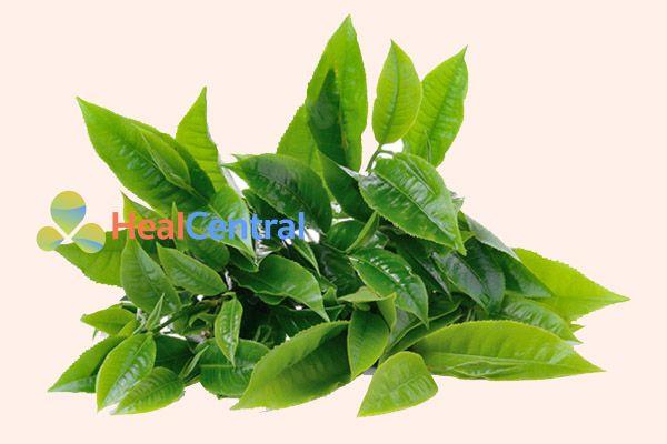 Lá trà xanh giúp chữa hôi vùng kín
