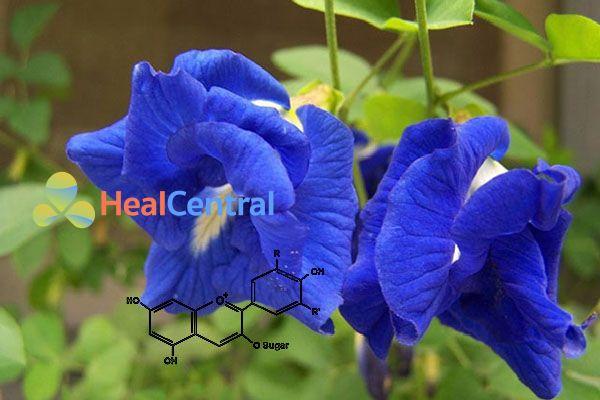 Trong hoa Đậu biếc có chứa hợp chất nhóm Flavonoid - Anthocyanin