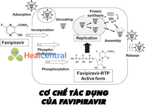 Cơ chế tác dụng của thuốc Favipiravir