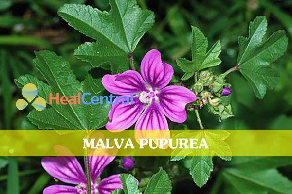 Bột hạt Malva được ứng dụng phổ biến trong y học