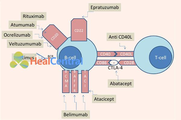 Cơ chế tác dụng của các thuốc lên bệnh nhân Lupus