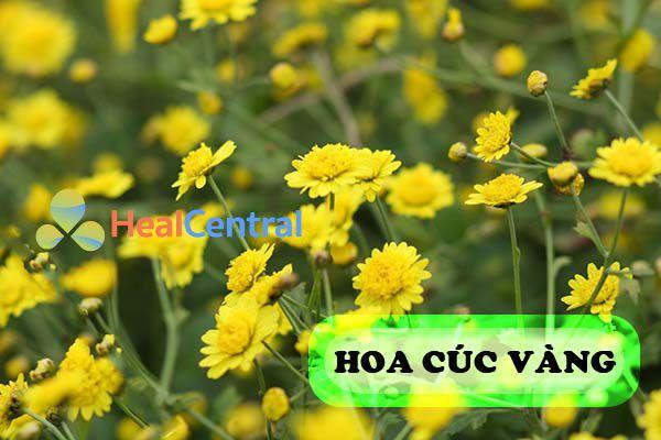 Hoa cúc vàng giúp kích thích mọc tóc