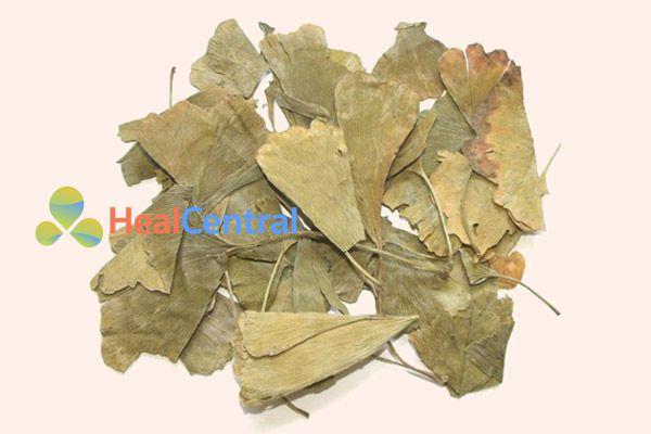 Lá khô của cây bạch quả