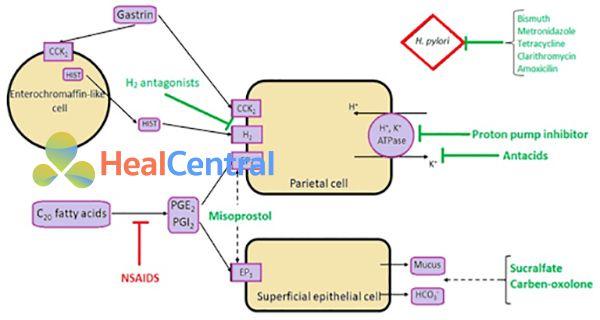 Hình 3. Các cơ chế sinh lý bệnh chính liên quan đến sự phát triển của loét dạ dày – tá tràng và các vị trí tác dụng của các thuốc được lựa chọn sử dụng phổ biến nhất trong điều trị bệnh. CCK2 = Cholecystokinin Receptor, PGE2 = Prostaglandin E2, PGI2 = Prostaglandin I2, EP3 = Prostaglandin E receptor 3, HIST = Histamine.