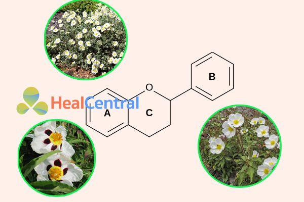 Flavonoid trong Cistus laurifolius có hoạt tính kháng khuẩn chống lại H.Pylori rất tốt