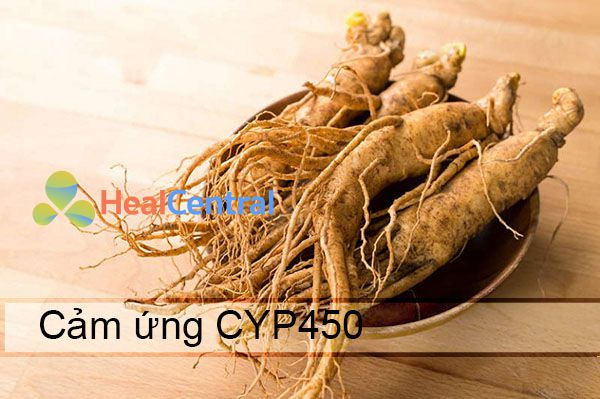 Hoạt chất trong nhân sâm cảm ứng enzym CYP450 3A4 làm tăng chuyển hóa và giảm tác hiệu lực một vài thuốc khác