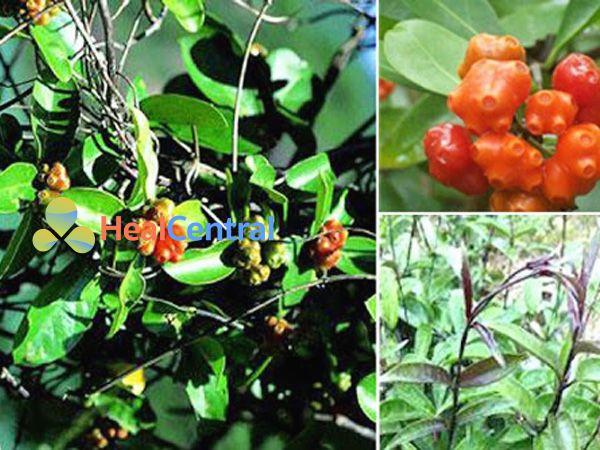 Đặc điểm thực vật của cây ba kích