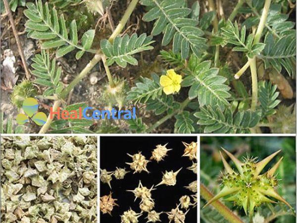 Đặc điểm thực vật bạch tật lệ
