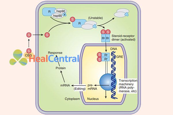 Cơ chế tác dụng của các glucocorticoid
