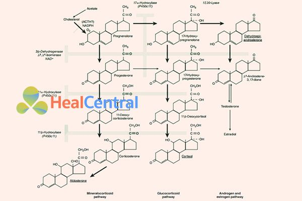Con đường sinh tổng hợp của một số loại hormon steroid trong cơ thể