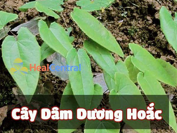 Hình ảnh cây Dâm Dương Hoắc