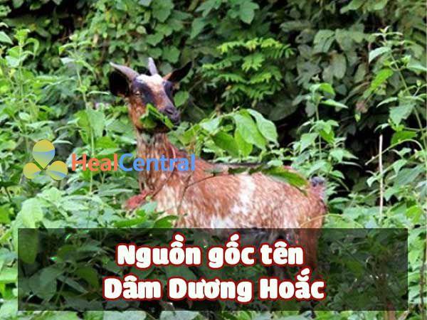Nguồn gốc tên Dâm Dương Hoắc