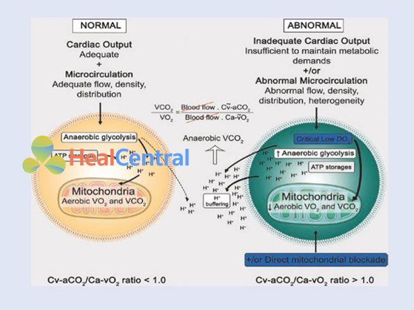 Tỷ lệ giữa CO2 tĩnh mạch-động mạch và O2 động mạch-tĩnh mạch (tỷ lệ Cv- aCO2/Ca-vO2)