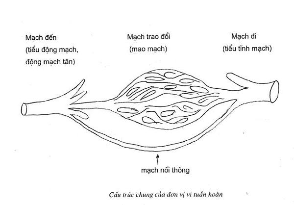 Cấu trúc giải phẫu của vi tuần hoàn
