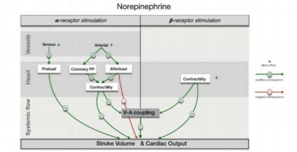 Sơ đồ biểu diễn các cơ chế tiềm năng của norepinephrine