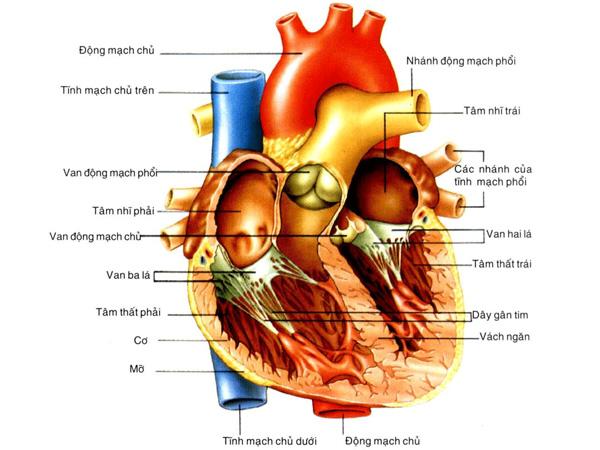 Giải phẫu hệ tim mạch