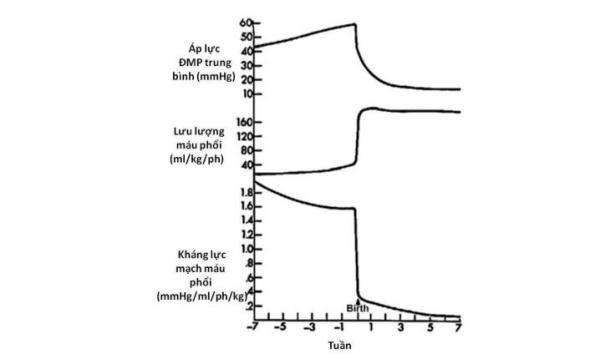 Hình 11. Những thay đổi trong áp lực động mạch phổi, lưu lượng máu và kháng lực mạch máu xuất hiện trong giai đoạn chu sinh.