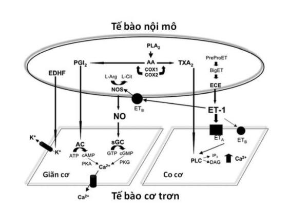 Hình 8. Sơ đồ hoá các yếu tố có nguồn gốc nội mô có thể gây giãn cơ (trái) và/hoặc co cơ (phải).