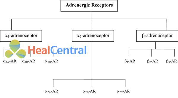 Adrenoceptors là các thụ thể kết hợp protein G