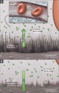 Hình 1. Vai trò của lớp Glycocalyx nội mô trong việc sử dụng Dịch hồi sức.