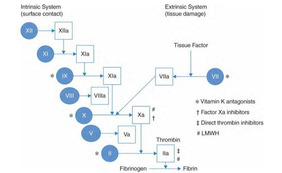 Con đường đông máu nội sinh và ngoại sinh