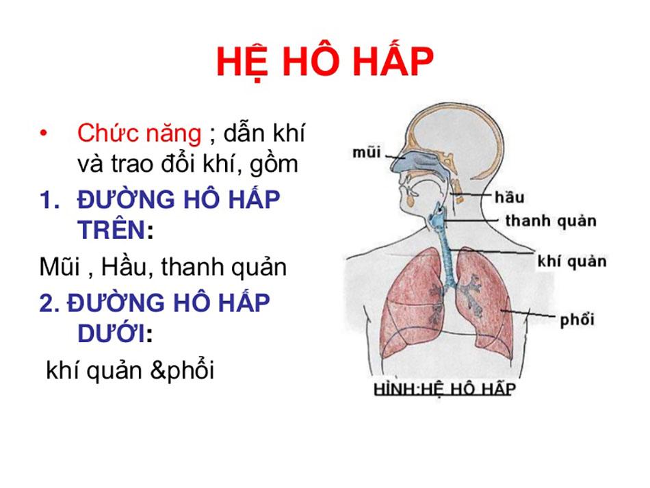 hệ hô hấp