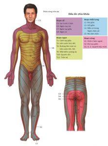Hình 1.9 Bản đồ Dermatome về suy giảm cảm giác ở chấn thương tủy sống / dây thần kinh cảm giác.