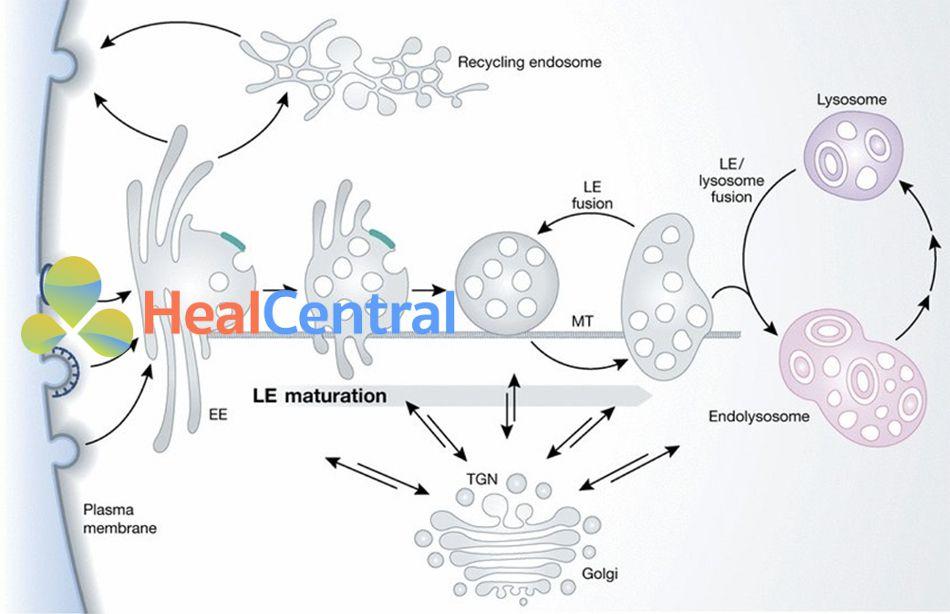 Hệ thống Endosome/Lysosome bắt đầu bằng cách nội hóa các protein ngoại bào vào bên trong bào quan nội bào gọi là endosome sớm (Early Endosome-EE) thông qua con đường nhập bào (Endocytic pathway). Sau đó, endosome sớm trải qua quá trình trưởng thành để trở thành endosome muộn (Late Endosome-LE). Kế tiếp, endosome muộn dung hợp với lysosome để tạo thành endolysosome. Quá trình này sẽ kết thúc khi lysosome tiêu thụ hoàn toàn endosome muộn cùng với các protein ngoại bào chứa trong nó.