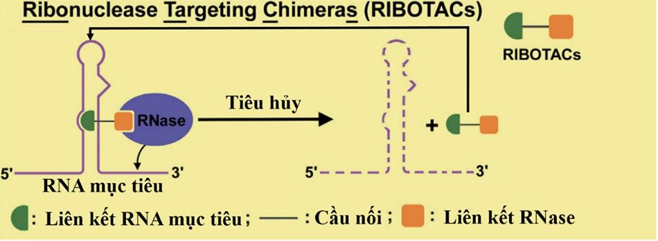 Cơ chế hoạt động của RIBOTACs. RIBOTACs là tiểu phân tử có 2 đầu ái lực cao. Một đầu (xanh lá cây) giúp liên kết với RNA mục tiêu. Đầu còn lại (màu cam) giúp tuyển dụng RNase tới gần RNA mục tiêu cho sự thoái hóa. Hai đầu này được nối bởi một cầu nối (đường kẻ màu đen). Sau khi kích hoạt thoái hóa RNA thành công, RIBOTACs sẽ tách khỏi RNA mục tiêu đã liên kết và bắt cặp với các RNA mục tiêu khác để bắt đầu lại vòng lặp. Điều này cho phép thuốc sử dụng công nghệ RIBOTACs có thể dùng với nồng độ thấp nhưng vẫn đảm bảo tính hiệu quả.
