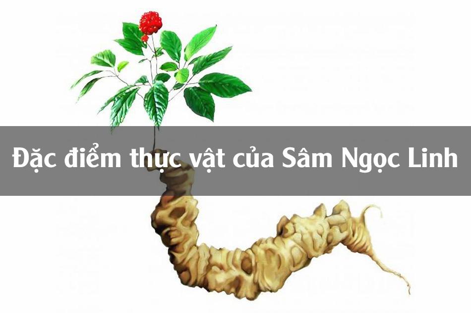Đặc điểm thực vật của Sâm Ngọc Linh